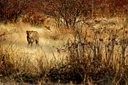 Cheetah Photo Originals - Cheetah Snarl by Marc Levine