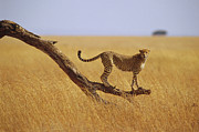 Acinonyx Jubatus Photos - Cheetah Standing on Dead Tree by Gerry Ellis
