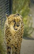 LeeAnn McLaneGoetz McLaneGoetzStudioLLCcom - Cheetah Stare