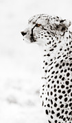 High And Low Framed Prints - Cheetah Stare Framed Print by Mike Gaudaur