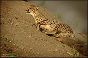 LeeAnn McLaneGoetz McLaneGoetzStudioLLCcom - Cheetah up hill race