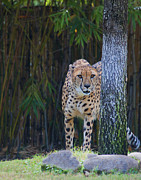 Keith Lovejoy - Cheetah Watching