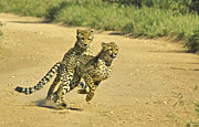 Cheetah Photo Originals - Cheetahs at play by Andrew Oliver