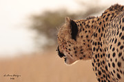 Andrew Morgan - Cheetahs Gaze