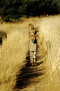 Cheetah Photo Originals - Cheetahs in a Line by Marc Levine