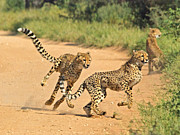 Cheetah Photo Originals - Cheetahs on the prowl by Andrew Oliver