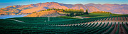 Grape Vineyard Framed Prints - Chelan Vineyard Panorama Framed Print by Inge Johnsson