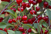 Brunch Prints - Cherries Print by Mircea Costina Photography