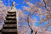 Cherry Blossom Prints - Cherry and Japanese Monument - Sydney Tran Print by Sydney Tran