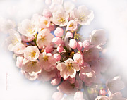 Barbara Mcmahon Prints - Cherry Blossom Print by Barbara McMahon