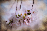 Cherry Blossom Dreams Print by Terry Rowe