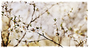 Cherry Framed Prints - Cherry blossom Framed Print by Elena Elisseeva