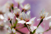 Sakura Digital Art Prints - Cherry Blossom Flower Print by Crystal Wightman