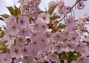 Cherry Blossom Prints - Cherry blossom in oil Print by Sharon Lisa Clarke