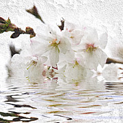 Blossom Framed Prints - Cherry blossom in water Framed Print by Elena Elisseeva