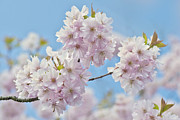 Cherry Art Framed Prints - Cherry Blossom Framed Print by Jacky Parker