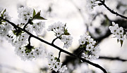 Pentecost Photos - Cherry Blossom by Jens Tischer