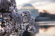 Jefferson Memorial Tapestries Textiles - Cherry Blossom Memories by Terry Rowe