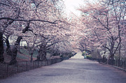 Cherry Blossoms Framed Prints - Cherry Blossom Path - Central Park Springtime Framed Print by Vivienne Gucwa