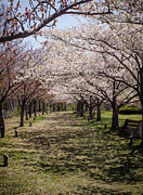 Cherry Blossoms Photo Originals - Cherry Blossom Path by GeeLeesa Productions