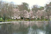 Cherry Blossoms Photo Originals - Cherry Blossom Time by Dody Rogers