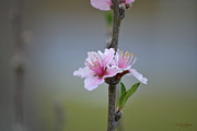 Rderder Photos - Cherry Blossom Zen by Roy Erickson
