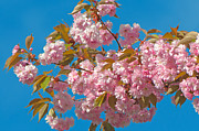 Cherry Blossoms Photos - Cherry Blossoms 2 by Sharon  Talson