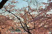 Washington D.c. Photos - Cherry Blossoms 2013 - 004 by Metro DC Photography