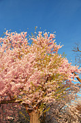 Bridge Prints - Cherry Blossoms 2013 - 016 Print by Metro DC Photography