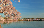 Architecture Photos - Cherry Blossoms 2013 - 017 by Metro DC Photography