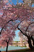 Cloud Posters - Cherry Blossoms 2013 - 024 Poster by Metro DC Photography