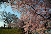 Cherry Blossoms Metal Prints - Cherry Blossoms 2013 - 038 Metal Print by Metro DC Photography