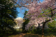 Cherry Blossoms 2013 - 047 Print by Metro DC Photography