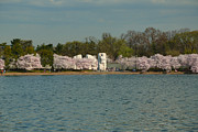 Washington Photos - Cherry Blossoms 2013 - 055 by Metro DC Photography