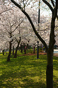 Washington Dc Photos - Cherry Blossoms 2013 - 057 by Metro DC Photography