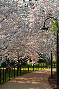 Sky Photo Metal Prints - Cherry Blossoms 2013 - 060 Metal Print by Metro DC Photography
