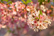 Architecture Photo Metal Prints - Cherry Blossoms 2013 - 072 Metal Print by Metro DC Photography