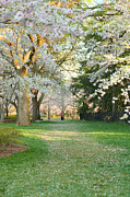 Cherry Blossoms 2013 - 075 Print by Metro DC Photography