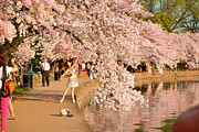 Washington Monument Photos - Cherry Blossoms 2013 - 076 by Metro DC Photography