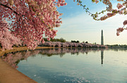 Dc Photos - Cherry Blossoms 2013 - 084 by Metro DC Photography