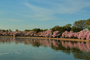 Cherry Blossom Photos - Cherry Blossoms 2013 - 088 by Metro DC Photography
