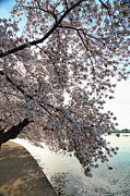 White Photo Metal Prints - Cherry Blossoms 2013 - 092 Metal Print by Metro DC Photography
