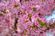 Government Art - Cherry Blossoms 2013 - 096 by Metro DC Photography