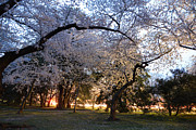 Photo Photo Metal Prints - Cherry Blossoms 2013 - 101 Metal Print by Metro DC Photography