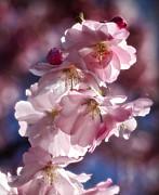 Cherry Blossoms 2013 Print by Richard Cummings
