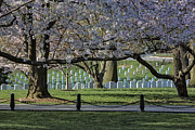 Cherry Blossoms Posters - Cherry Blossoms Adorn Arlington National Cemetery Poster by Susan Candelario