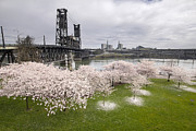 Esplanade Outdoors Posters - Cherry Blossoms Along Willamette River Poster by JPLDesigns