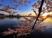 Shawn Bennaman - Cherry Blossoms and the...