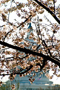 Installation Art Art - Cherry Blossoms and US Capitol by Richard Nowitz