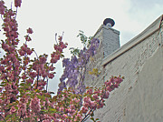 Phillie Posters - Cherry Blossoms and Wisteria Against a White Chimney Poster by Carol Senske